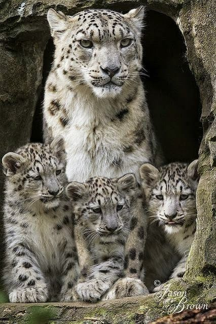 Mama Snow Leopard and babies