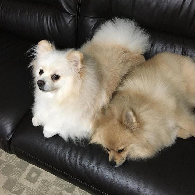 結構仲良しなんです😊 #もこもこ #もふもふ #ふわふわ #超かわいい  #ポメラニアン#ポメラニアン部 #愛犬 #ウルフセーブルポメラニアン #マックス #ホワイトクリームポメラニアン #レオ #いやしわんこ #小田和正さん 大好き