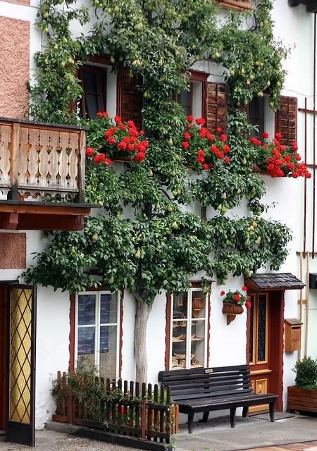 Espalier Pear Tree, Rose window boxes ~ Hallstatt, Austria. Photo by Philip Bouchard