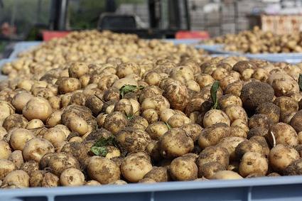 Qu'elle est belle la patate primeur de Noirmoutier! Voilà l'histoire qui nous conte comment elles arrivent dans nos assiettes... Alors, vous en pensez quoi?  La Coopérative agricole Noirmoutier | Ma p'tite cuisine