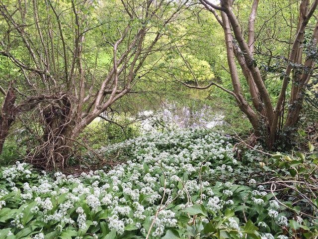 Hastings Battleaxe : Garlic in Alexandra Park