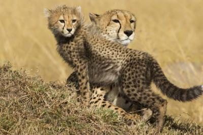 Baby cheetahs have a high mortality rate in the wild.