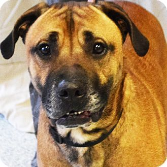 Huntley, IL - Boxer/American Staffordshire Terrier Mix. Meet Rocco, a dog for adoption. http://www.adoptapet.com/pet/17431608-huntley-illinois-boxer-mix