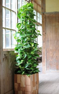 training a large pothos into a pyramid--maybe use a garden tuteur?