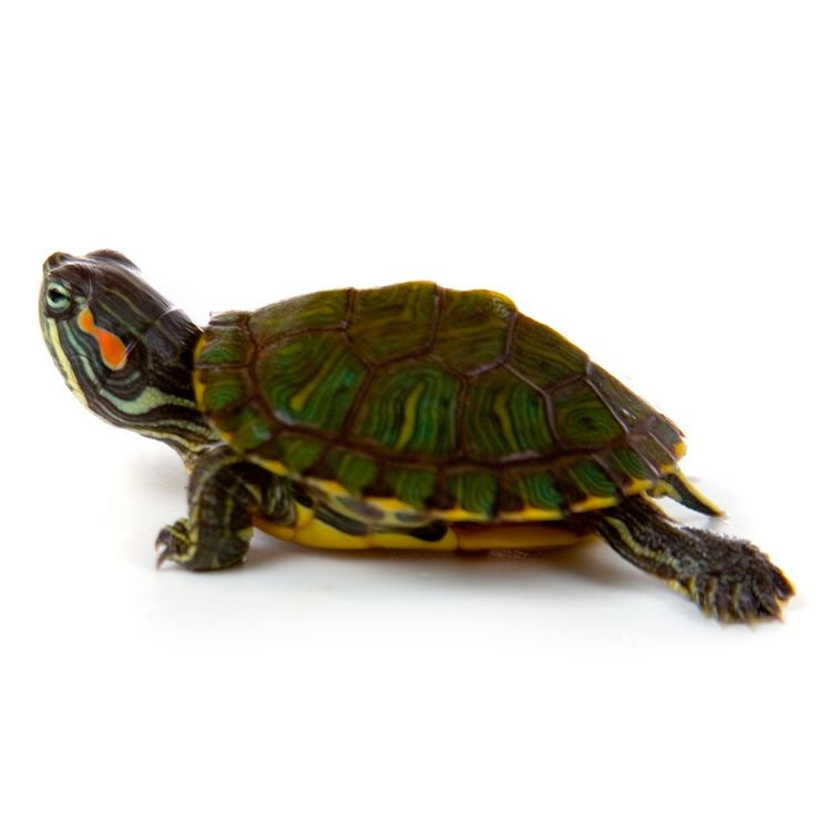 My Turtle Store its so freakin cute I can't wait until i get mine!!!! :D :D :O