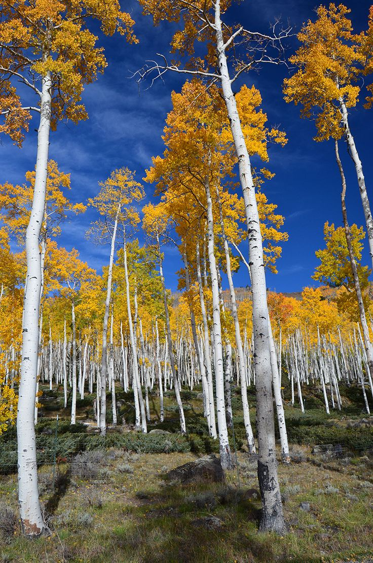 Pando Aspen Fishlake National Forest This is the largest single organism on earth - every tree is a clone that shares the same root system and DNA.