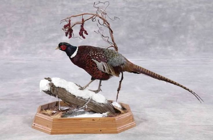 Ringneck Pheasant by Bryan Foley