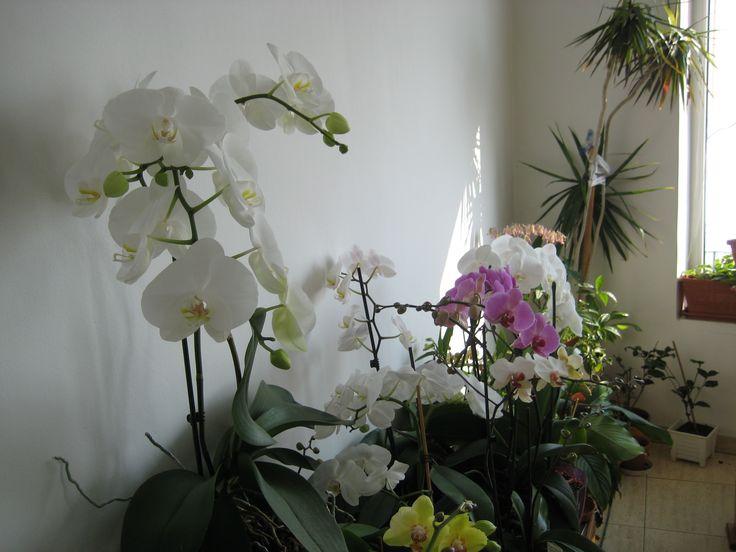 White phalaenopsys orchid