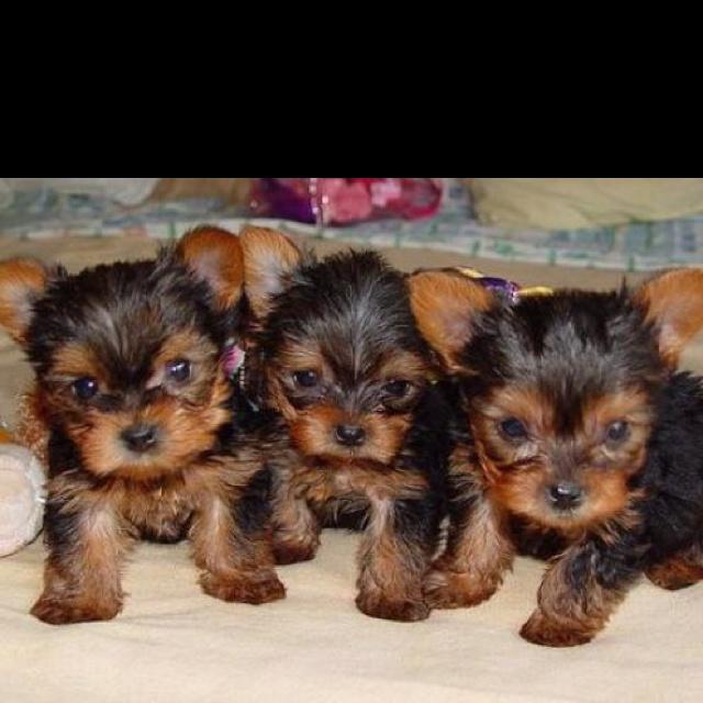 where can i buy a teacup yorkie 9 best own a tea cup yorkie images on pinterest yorkies 8380