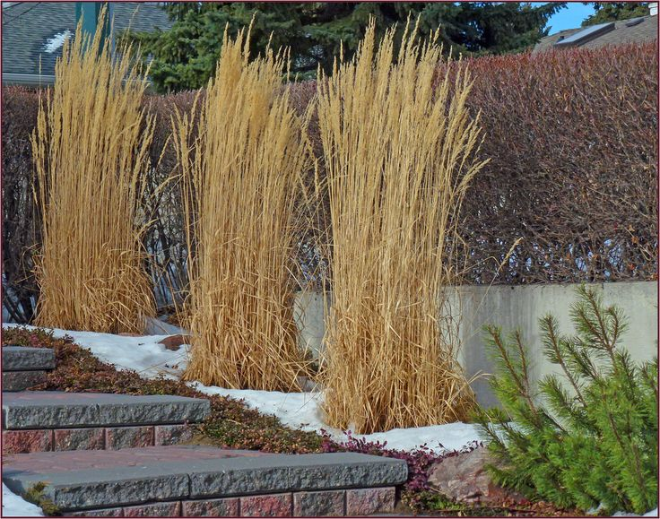 55 best images about plants perennials and grasses on for Small ornamental grasses for landscaping