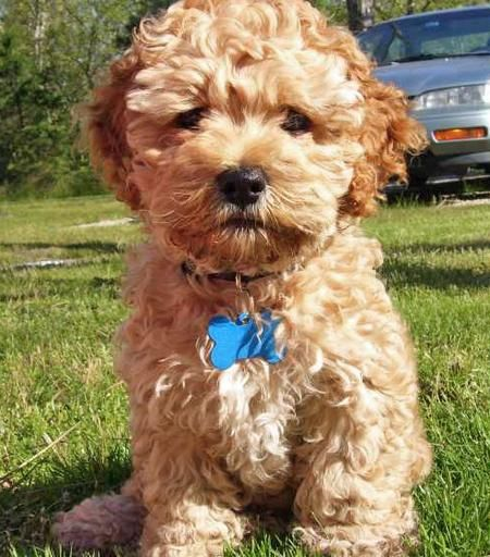 70 Best Cute Cockapoos Images On Pinterest  Doggies -3690
