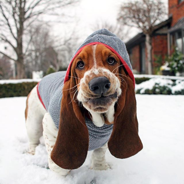 420 Best Basset Hounds And Other Fur Babies Images On
