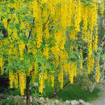 Golden Chain Tree - blooms late spring and early summer, producing hanging clusters to 2 ft long of yellow flowers that resemble wisteria. (Laburnum x watereri) - 25 ft tall and wide