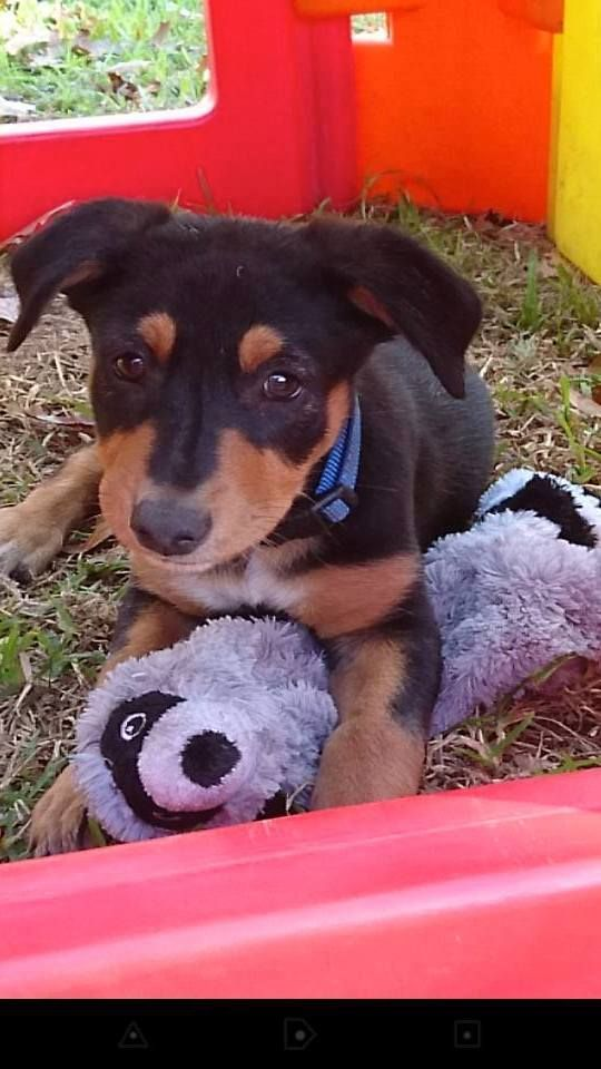 He's a busy little kelpie full of energy and fun