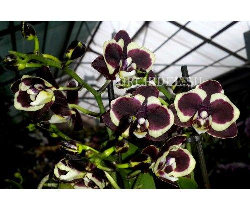"Phalaenopsis ""Коричневый сахар"" Brown Sugar"