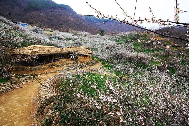 매화마을 [Gwangyang]