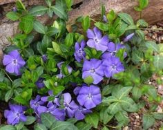 periwinkle myrtle ground cover planting gardening | The Old Farmer's Almanac