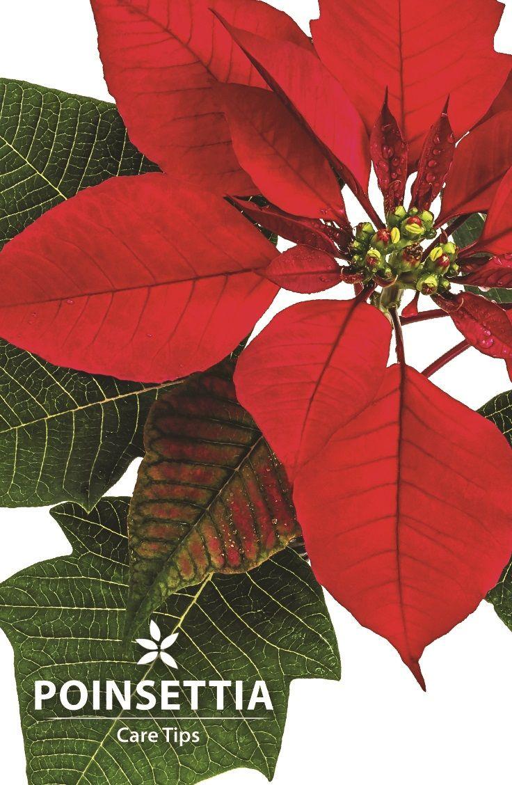 179 Best Plants Poinsettia Images On Pinterest Indoor