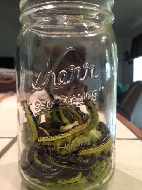 Preserving Catalpa Worms - Pensacola Fishing Forum