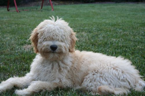 types of goldendoodle haircuts google search diy types of goldendoodle haircuts google search dogs