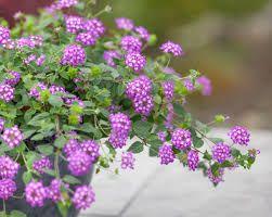 Spring - Fall Trailing Purple Lantana