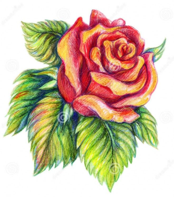 35 beautiful flower drawings and realistic color pencil drawings - Color Drawings