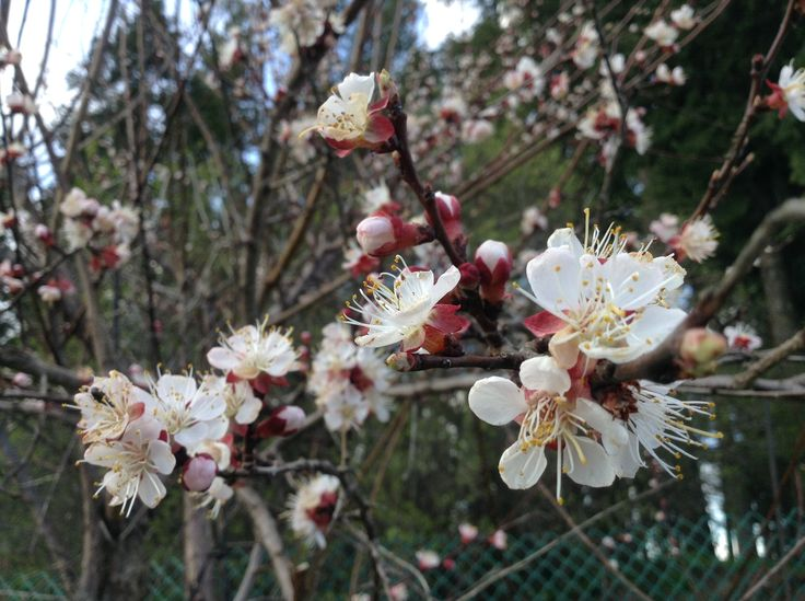 Apricot blossoms from a tree in town