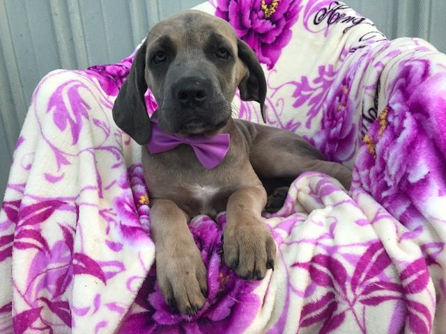 Cane Corso puppy for sale in QUARRYVILLE, PA. ADN-38851 on PuppyFinder.com Gender: Female. Age: 13 Weeks Old
