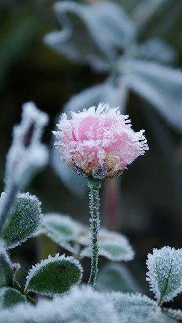 17 Images About Frost Rose On Pinterest Winter Flowers