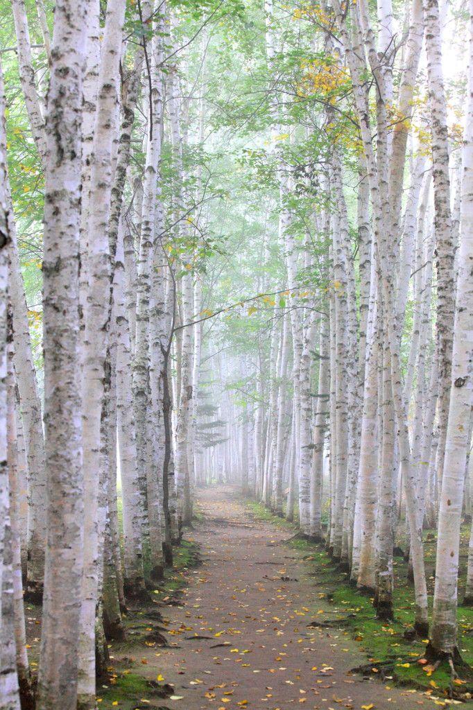 White birch trees in Biei, Hokkaido, Japan   想い出の散歩道の画像(写真)