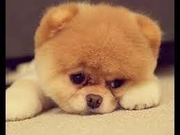 Rezultat slika za chau-chau dogs