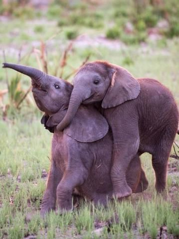 PetsLady's Pick: Funny Elephant Siblings Of The Day...see more at PetsLady.com -The FUN site for Animal Lovers