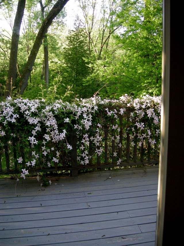 clematis montana sorte weiß schlingpflanze balkon geländer - balkon ideen blumenkasten gelander