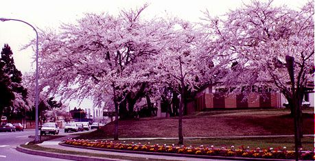 misawa-cherry-blossoms-1996.JPG