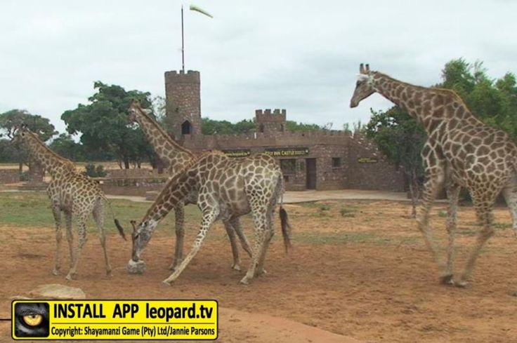 Seringa is the biggest open plain area on Shayamanzi. Animals like eland, gemsbok, blesbok, red hartebeest, zebra, blue wildebeest and giraffe all favour the open plain areas and are regular visitors to Seringa.