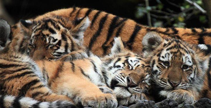 (via siberische tijger amersfoort IMG_0079 | safi kok | Flickr) by alltiger