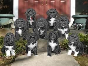 Http Dogtime Com Dog Breeds Portuguese Water Dog