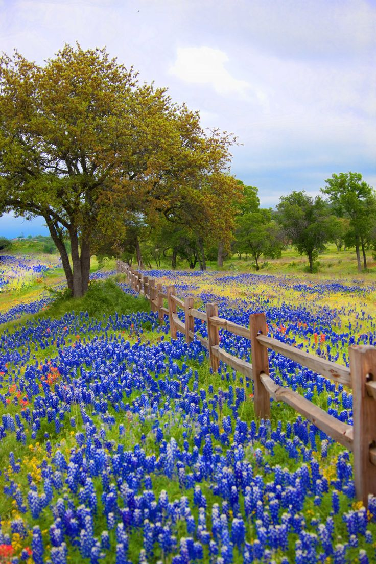 Is there anything more beautiful than a field of bluebonnets?