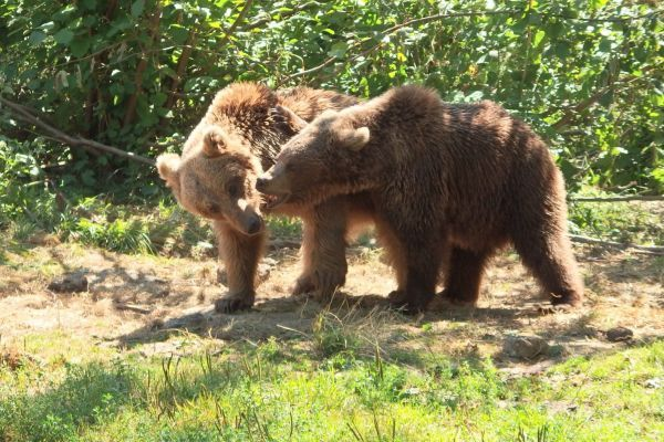 Bears in a Romanian bear sanctuary run by partner group Asociatia Milioane De Prieteni (AMP) who provide a safe home for bears rescued from captivity and poor quality zoos.