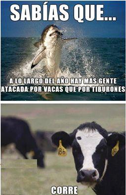 Hay más gente atacada por vacas que por tiburones, ¡corre!  (comparatives / commands) Repinned by http://www.Basic-Spanish-Words.com/
