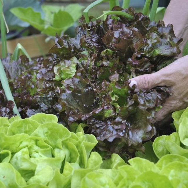 Grow several types of lettuce to keep your salads interesting.