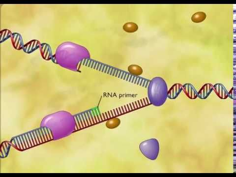 DNA Replication fully explained - Animation - YouTube