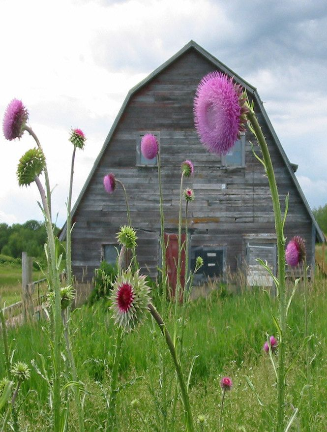 thistles in front of the barn