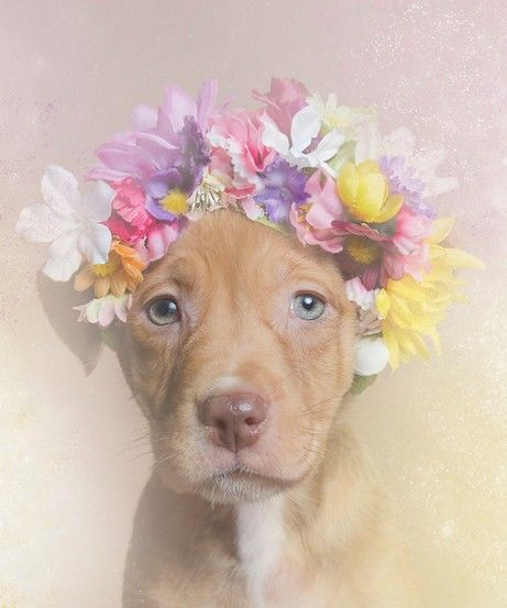 "FLOWER POWER by Sophie Gamand - America euthanizes upward of 800,000 Pit Bulls each year. Around the world, Pit Bulls are equally victims of prejudices that associate them with ultra-violence. With ""Flower Power: Pit Bulls of the Revolution"", Gamand decided to photograph the dogs with flower crowns to infuse a more feminine energy into their image, to challenge the way we look at Pit Bulls. All the models were shelter Pit Bulls who were waiting for adoption at the time of the photograph."