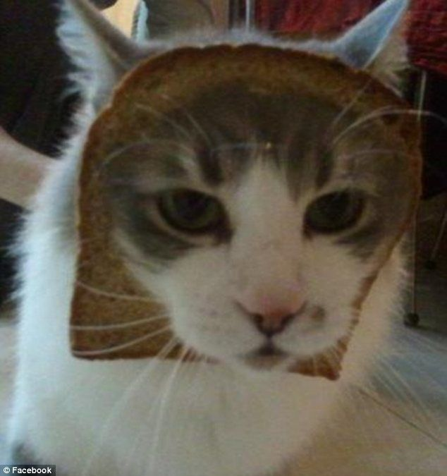 Best Bread Cats Images On Pinterest Beautiful Angry Cat And - 29 cute cats that have morphed into cat loaves