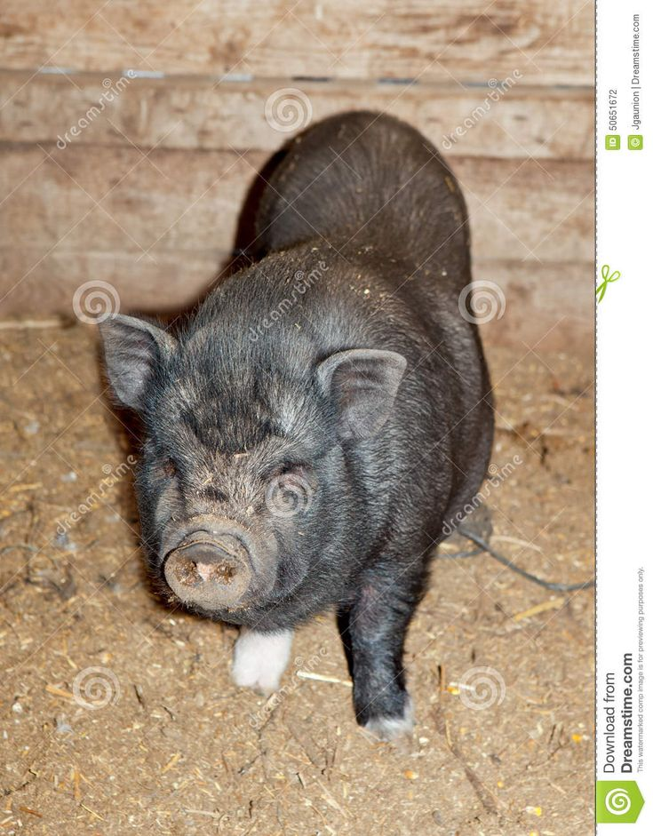 Vietnamese Pot-bellied pig on a traditional farm