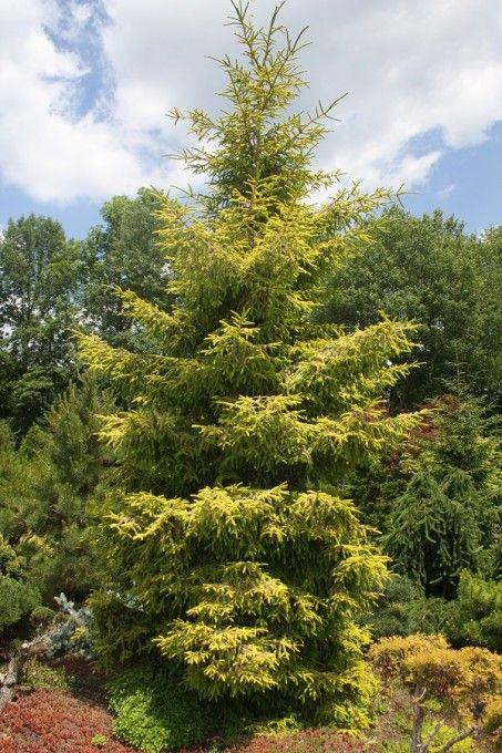 96 Best Evergreen Trees Images On Pinterest Evergreen