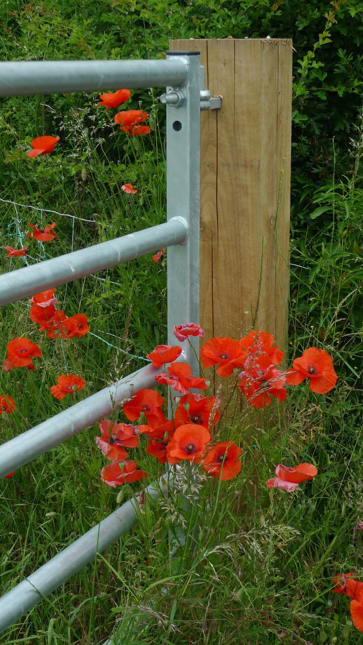 Poppies by the farm gate