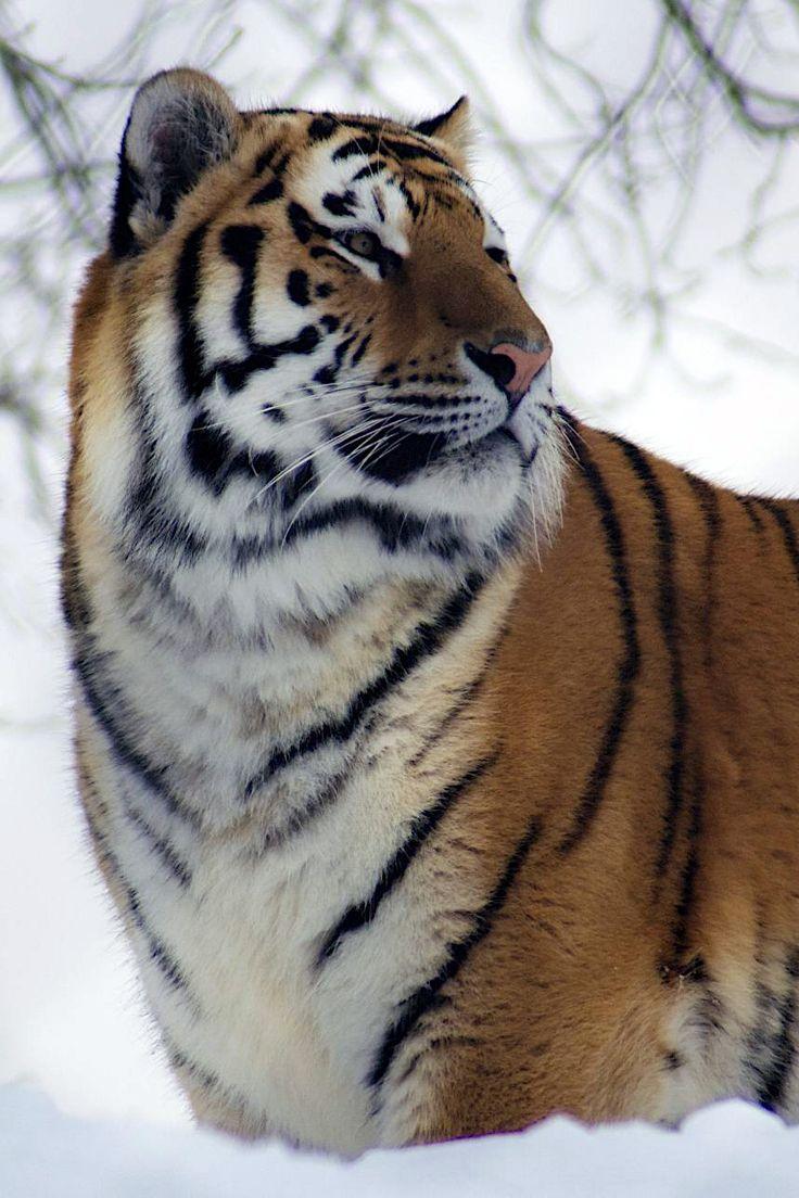 I love tigers!
