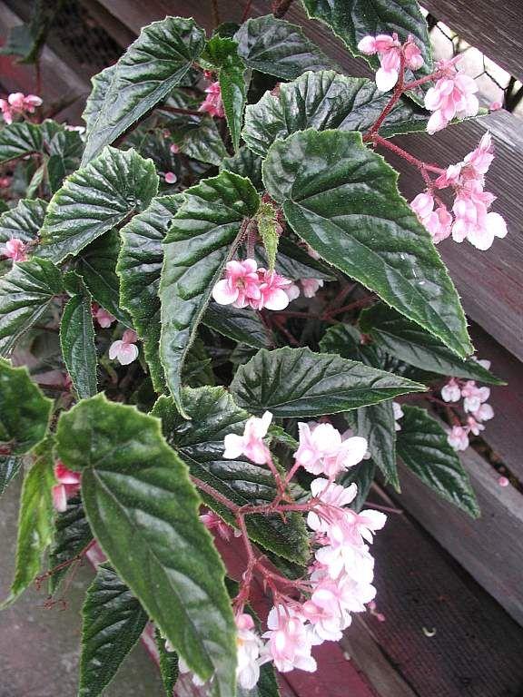 Shrub Like Begonia Pastel Prince